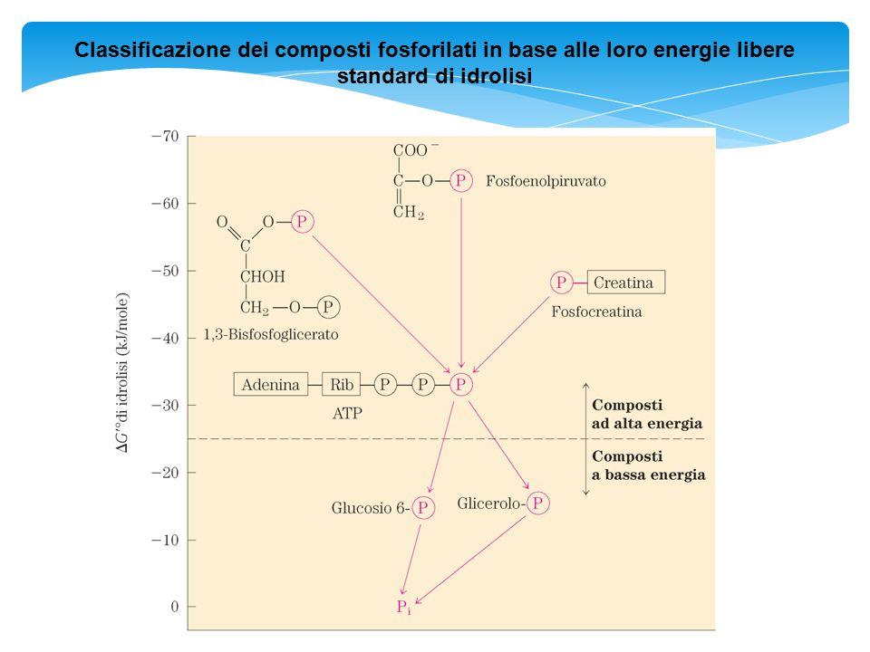 Classificazione dei composti fosforilati in base alle loro energie libere standard di idrolisi