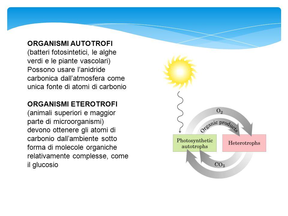 ORGANISMI AUTOTROFI (batteri fotosintetici, le alghe verdi e le piante vascolari) Possono usare l'anidride carbonica dall'atmosfera come unica fonte d