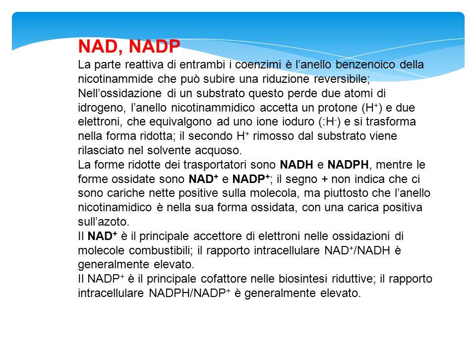 NAD, NADP La parte reattiva di entrambi i coenzimi è l'anello benzenoico della nicotinammide che può subire una riduzione reversibile; Nell'ossidazion