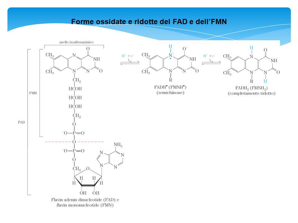 Forme ossidate e ridotte del FAD e dell'FMN
