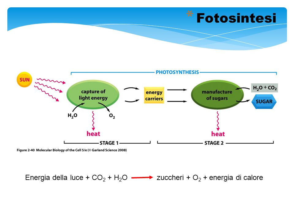 Energia della luce + CO 2 + H 2 O zuccheri + O 2 + energia di calore * Fotosintesi