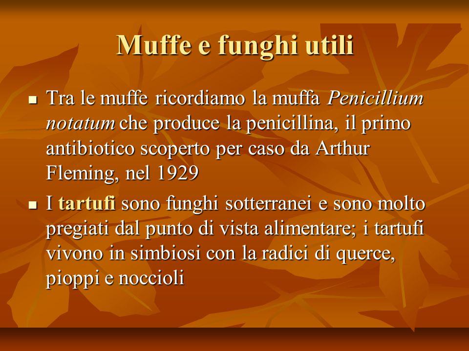 Muffe e funghi utili Tra le muffe ricordiamo la muffa Penicillium notatum che produce la penicillina, il primo antibiotico scoperto per caso da Arthur