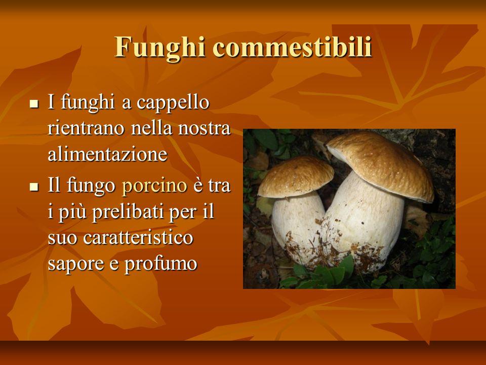 Funghi commestibili I funghi a cappello rientrano nella nostra alimentazione I funghi a cappello rientrano nella nostra alimentazione Il fungo porcino