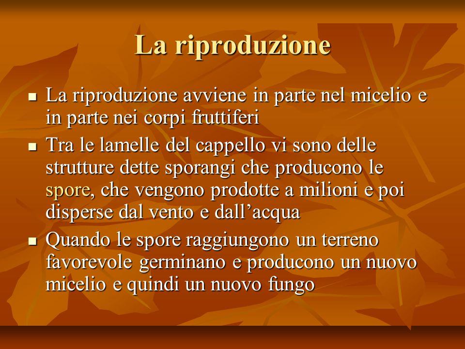 La riproduzione La riproduzione avviene in parte nel micelio e in parte nei corpi fruttiferi La riproduzione avviene in parte nel micelio e in parte n