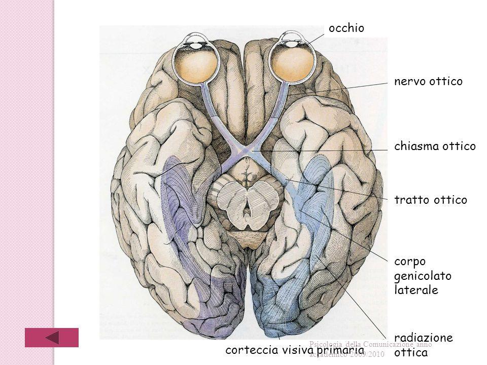 occhio nervo ottico chiasma ottico tratto ottico corpo genicolato laterale radiazione ottica corteccia visiva primaria Psicologia della Comunicazione anno accademico 2009/2010