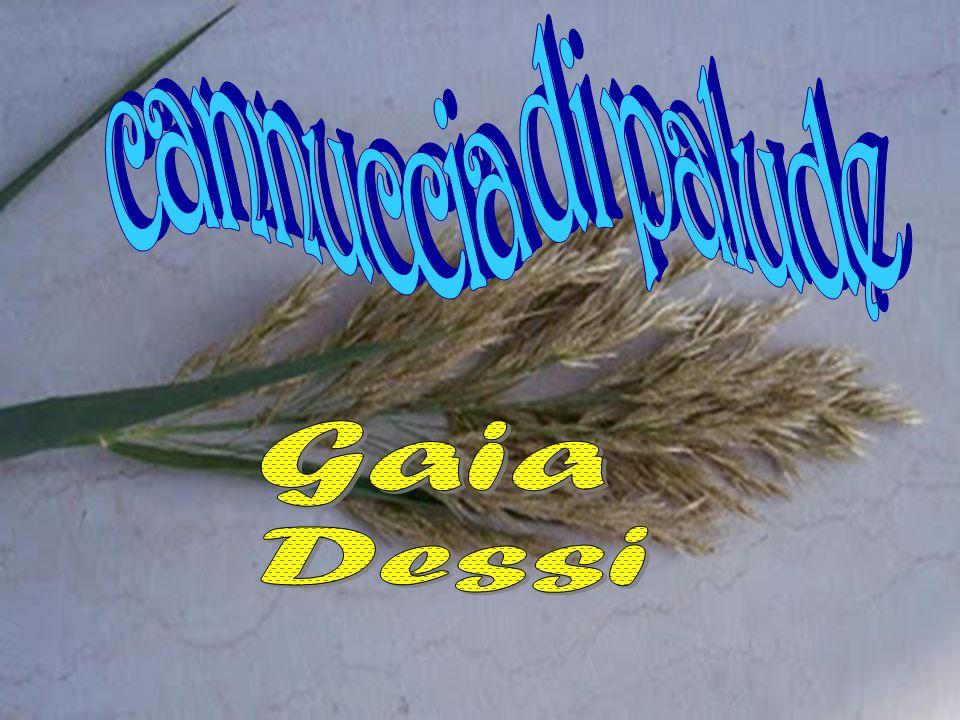 Ordine: poales Famiglia: Poaceae Genere: phragmites Macrotipo Corologico: altre Tipo Corologico:: subcames
