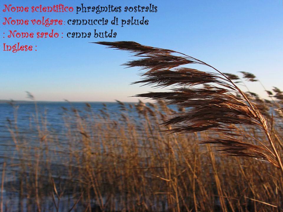 : Nome sardo : canna butda Inglese : Nome scientifico phragmites aostralis Nome volgare : cannuccia di palude