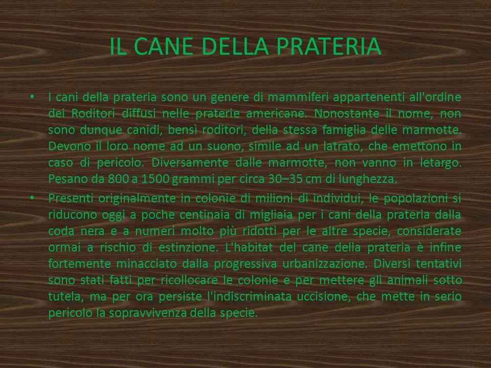 IL CANE DELLA PRATERIA I cani della prateria sono un genere di mammiferi appartenenti all'ordine dei Roditori diffusi nelle praterie americane. Nonost