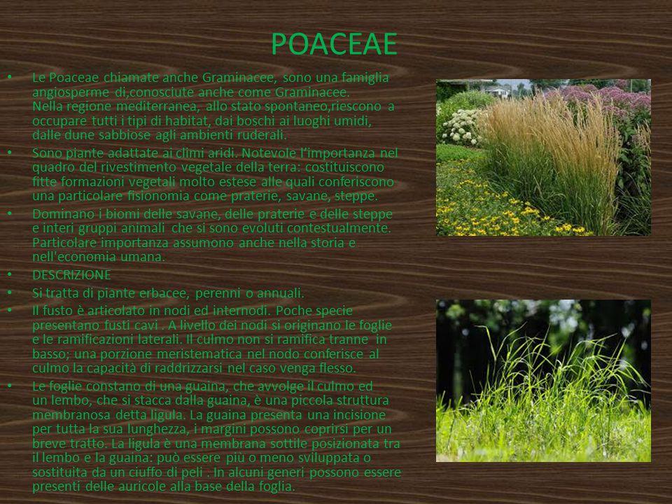 POACEAE Le Poaceae chiamate anche Graminacee, sono una famiglia angiosperme di,conosciute anche come Graminacee. Nella regione mediterranea, allo stat