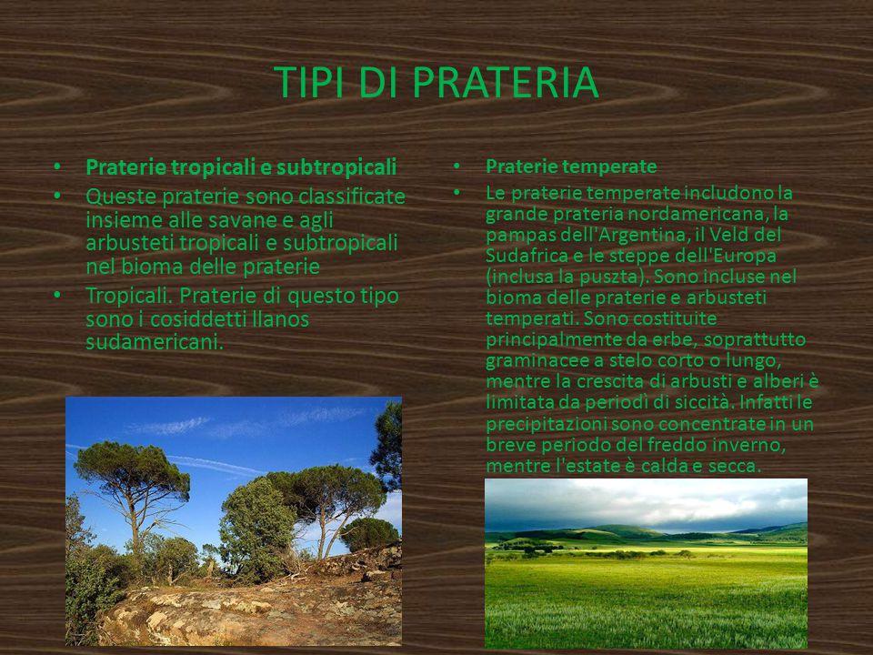 TIPI DI PRATERIA Praterie tropicali e subtropicali Queste praterie sono classificate insieme alle savane e agli arbusteti tropicali e subtropicali nel