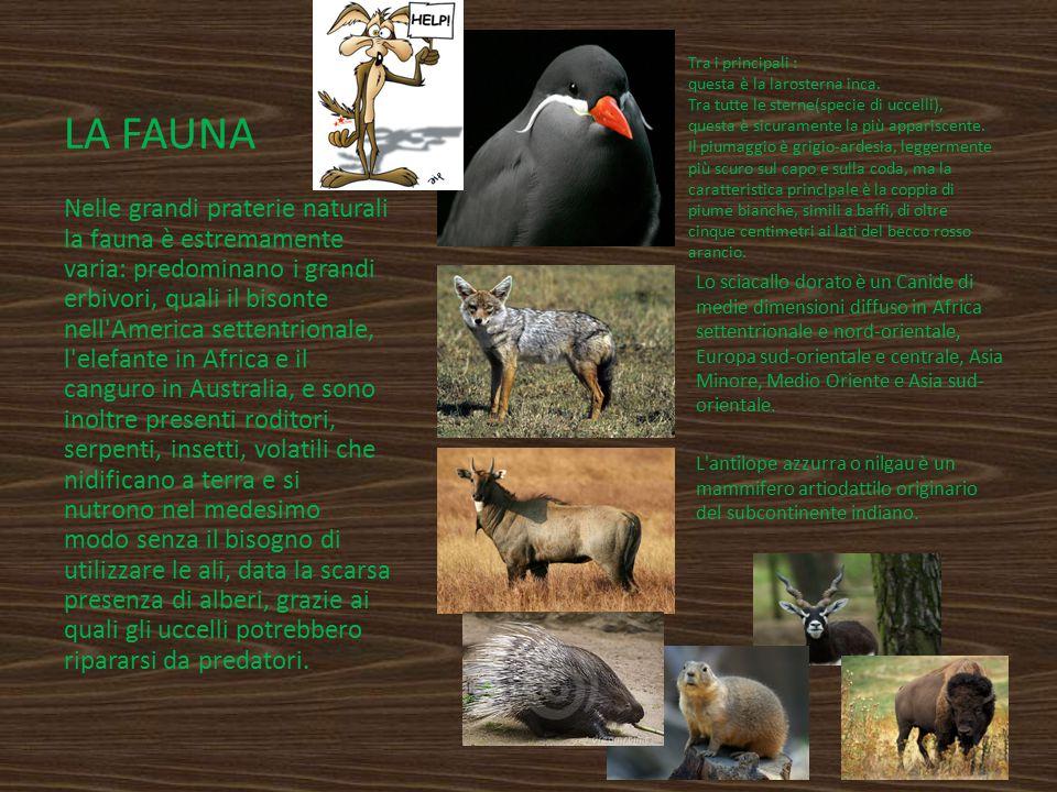LA FAUNA Tra i principali : questa è la larosterna inca. Tra tutte le sterne(specie di uccelli), questa è sicuramente la più appariscente. Il piumaggi