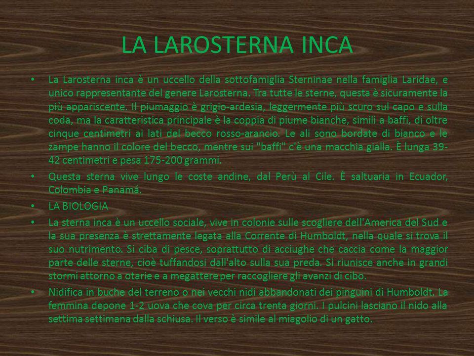 LA LAROSTERNA INCA La Larosterna inca è un uccello della sottofamiglia Sterninae nella famiglia Laridae, e unico rappresentante del genere Larosterna.