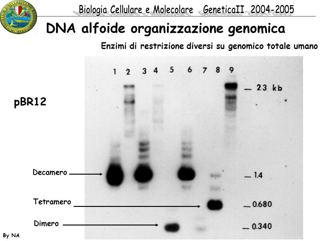 By NA pBR12 DNA alfoide organizzazione genomica Dimero Tetramero Decamero Enzimi di restrizione diversi su genomico totale umano