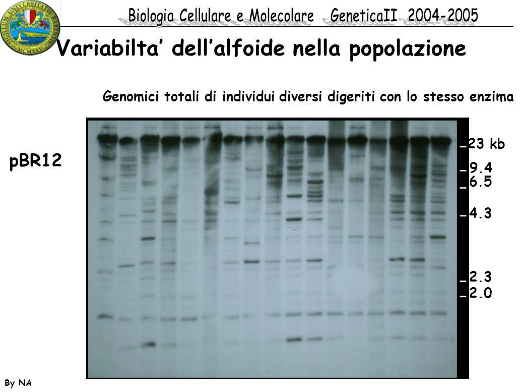 By NA pBR12 23 kb 9.4 6.5 4.3 2.3 2.0 Variabilta' dell'alfoide nella popolazione Genomici totali di individui diversi digeriti con lo stesso enzima
