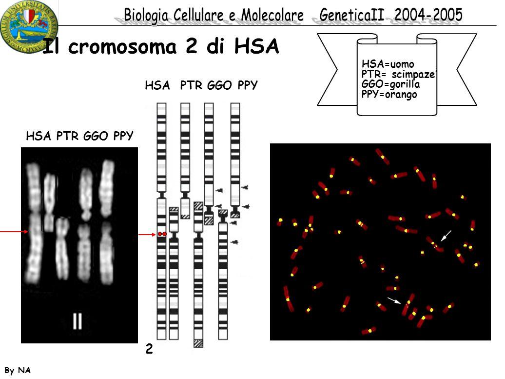 By NA Il cromosoma 2 di HSA HSA=uomo PTR= scimpaze' GGO=gorilla PPY=orango 2 HSA PTR GGO PPY