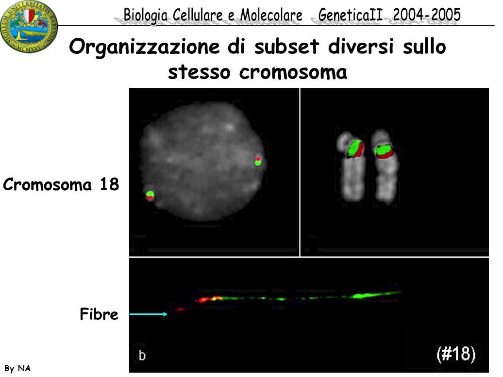 By NA Cromosoma 18 Organizzazione di subset diversi sullo stesso cromosoma Fibre
