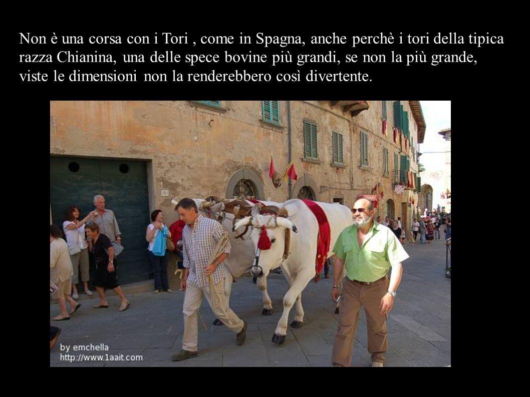 Non è una corsa con i Tori, come in Spagna, anche perchè i tori della tipica razza Chianina, una delle spece bovine più grandi, se non la più grande, viste le dimensioni non la renderebbero così divertente.