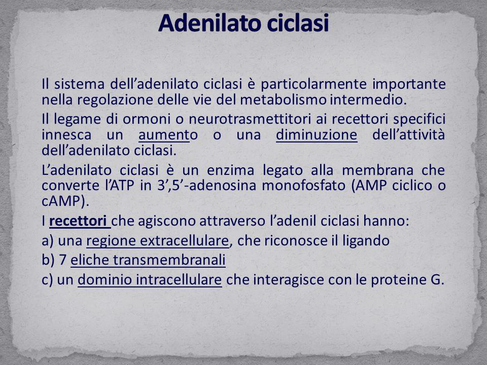 Il sistema dell'adenilato ciclasi è particolarmente importante nella regolazione delle vie del metabolismo intermedio. Il legame di ormoni o neurotras