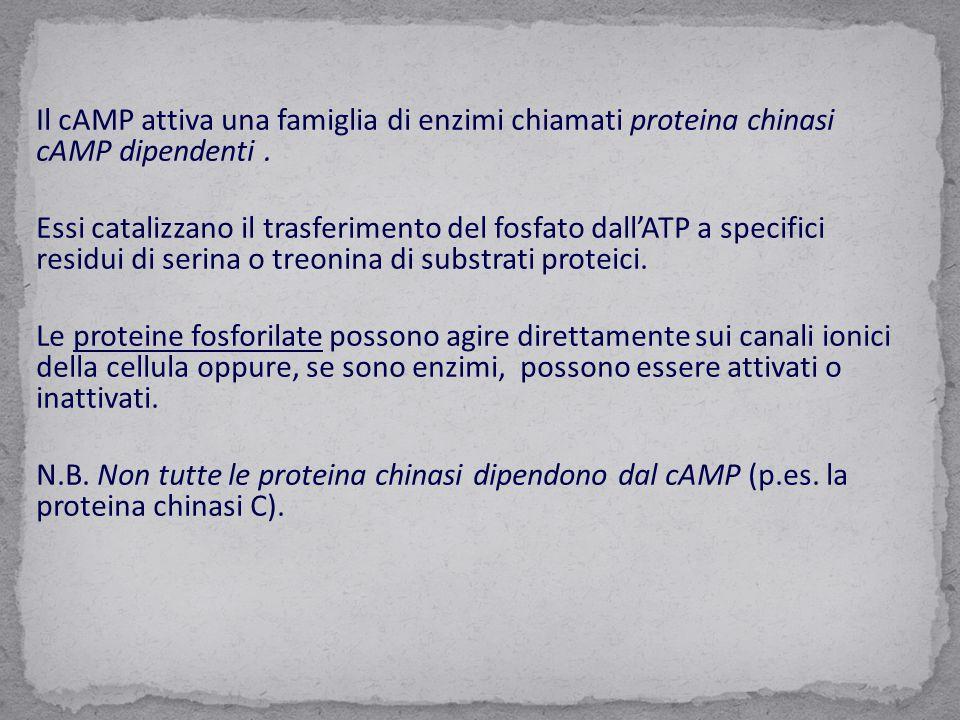 Il cAMP attiva una famiglia di enzimi chiamati proteina chinasi cAMP dipendenti. Essi catalizzano il trasferimento del fosfato dall'ATP a specifici re