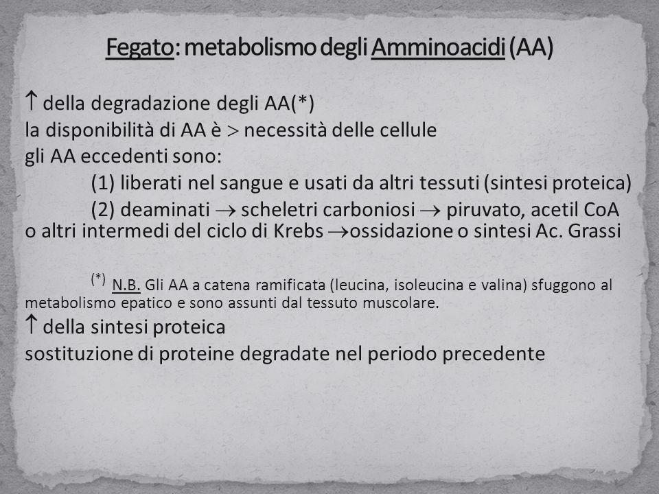  della degradazione degli AA(*) la disponibilità di AA è  necessità delle cellule gli AA eccedenti sono: (1) liberati nel sangue e usati da altri tessuti (sintesi proteica) (2) deaminati  scheletri carboniosi  piruvato, acetil CoA o altri intermedi del ciclo di Krebs  ossidazione o sintesi Ac.