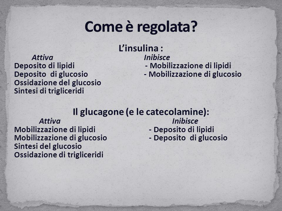 L'insulina : AttivaInibisce Deposito di lipidi - Mobilizzazione di lipidi Deposito di glucosio- Mobilizzazione di glucosio Ossidazione del glucosio Si