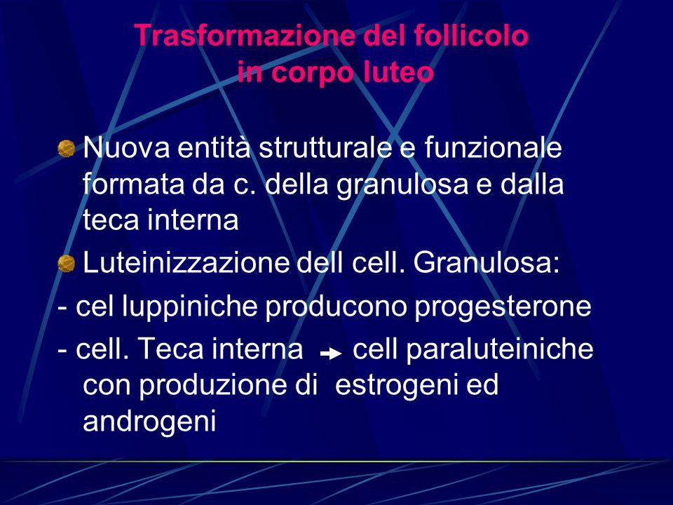 Nuova entità strutturale e funzionale formata da c. della granulosa e dalla teca interna Luteinizzazione dell cell. Granulosa: - cel luppiniche produc