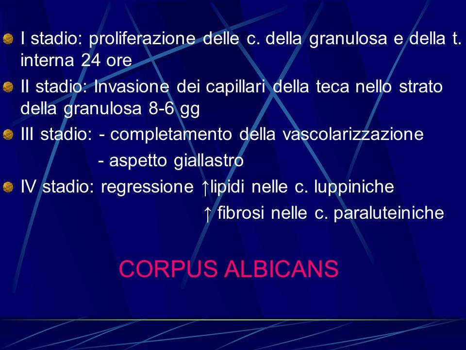 I stadio: proliferazione delle c. della granulosa e della t. interna 24 ore II stadio: Invasione dei capillari della teca nello strato della granulosa