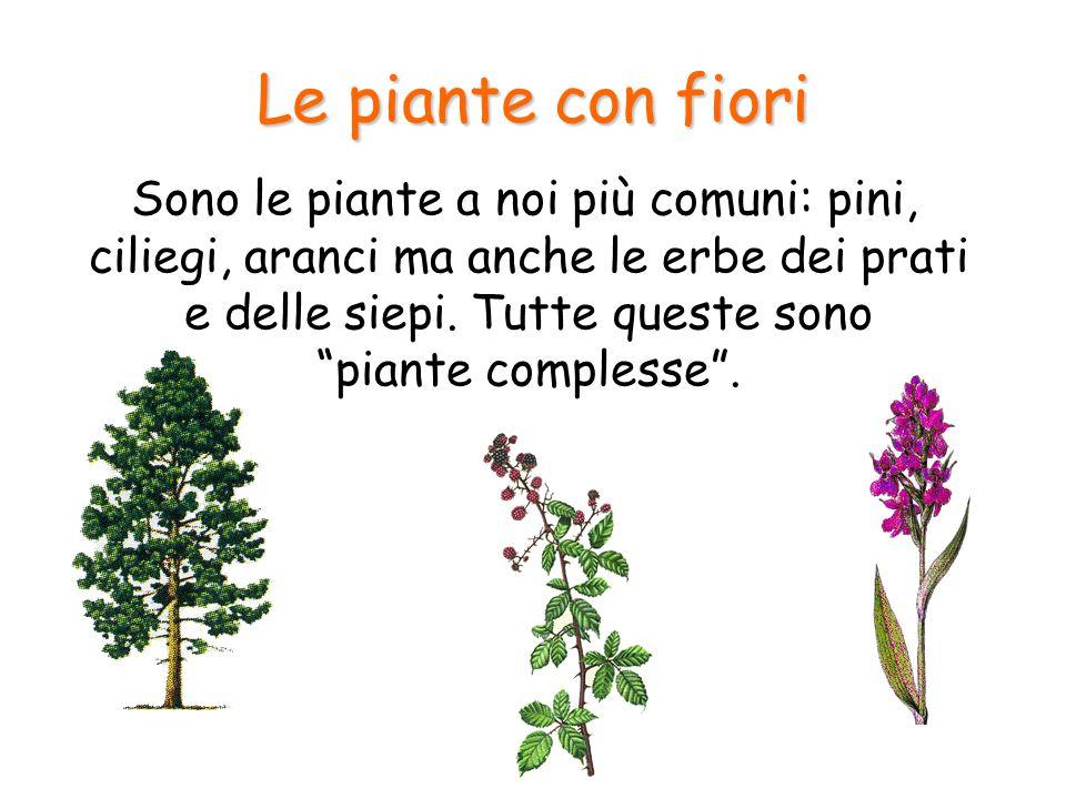 """Le piante con fiori Sono le piante a noi più comuni: pini, ciliegi, aranci ma anche le erbe dei prati e delle siepi. Tutte queste sono """"piante comples"""