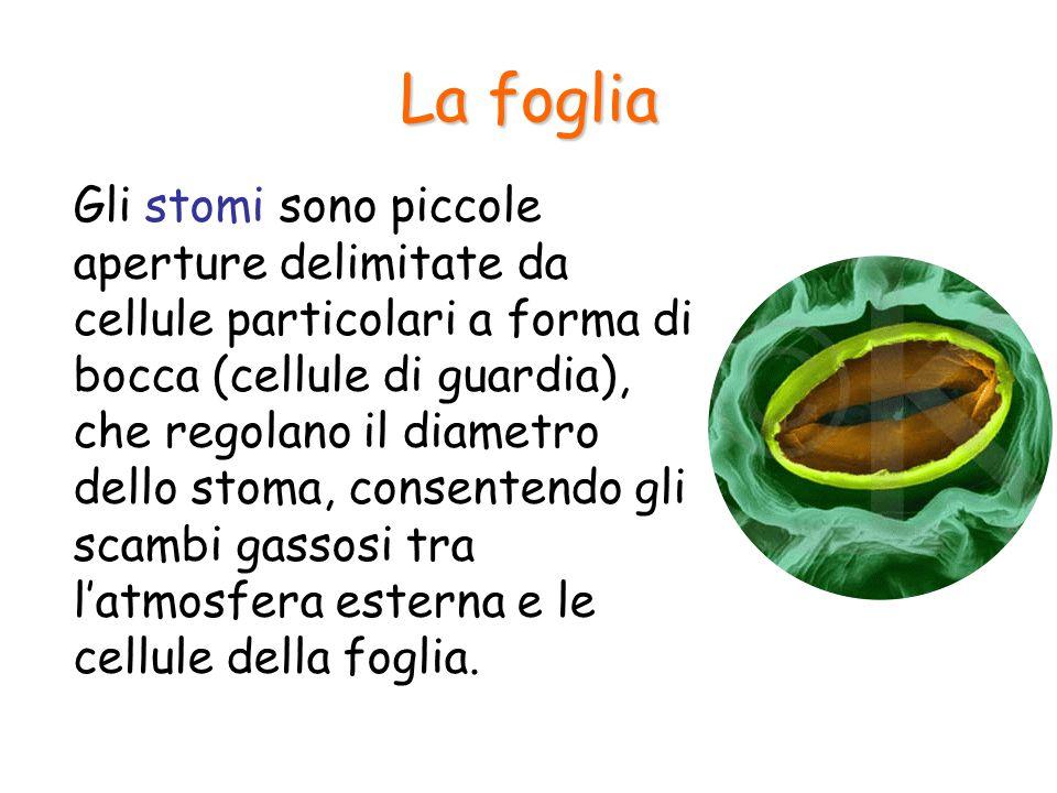 La foglia Gli stomi sono piccole aperture delimitate da cellule particolari a forma di bocca (cellule di guardia), che regolano il diametro dello stom