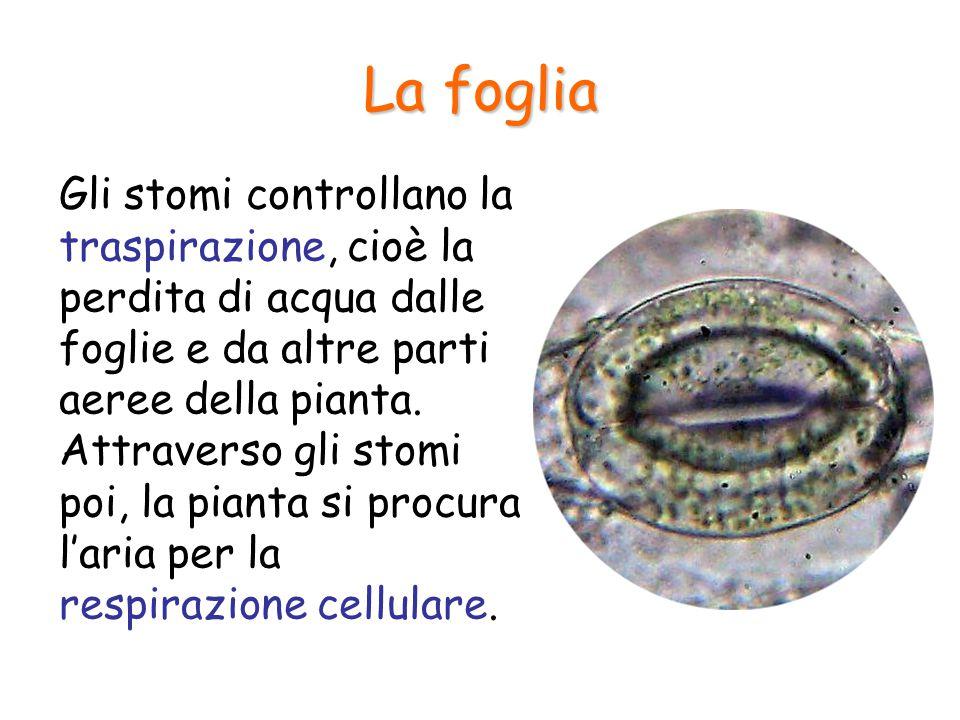 La foglia Gli stomi controllano la traspirazione, cioè la perdita di acqua dalle foglie e da altre parti aeree della pianta. Attraverso gli stomi poi,