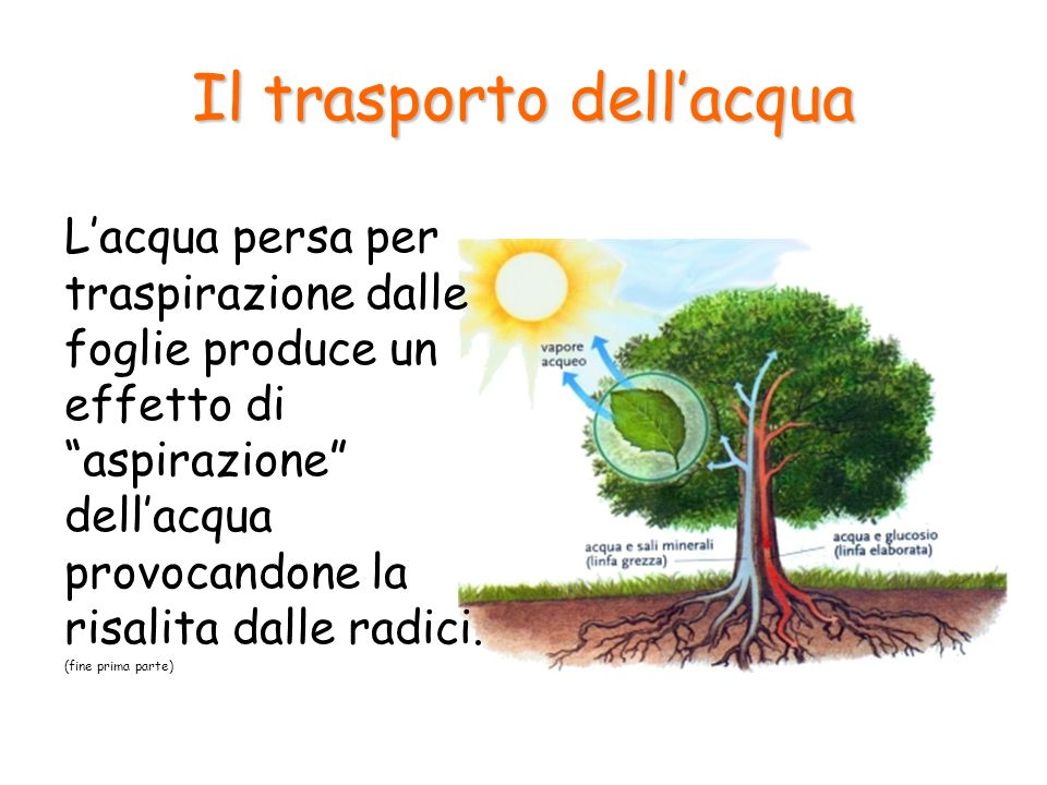 """Il trasporto dell'acqua L'acqua persa per traspirazione dalle foglie produce un effetto di """"aspirazione"""" dell'acqua provocandone la risalita dalle rad"""
