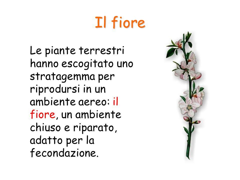Il fiore Le piante terrestri hanno escogitato uno stratagemma per riprodursi in un ambiente aereo: il fiore, un ambiente chiuso e riparato, adatto per