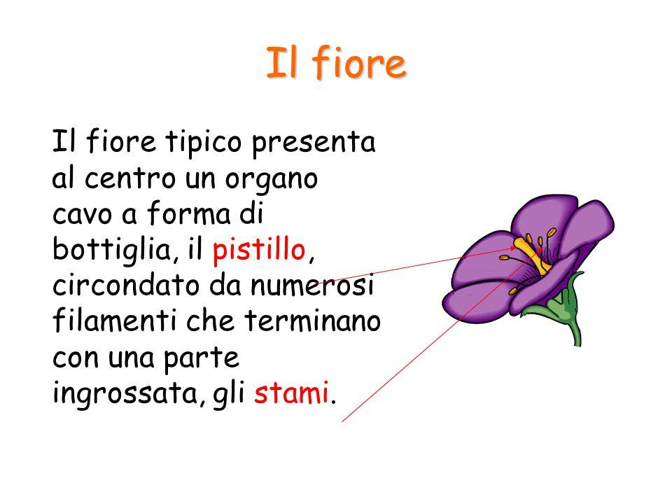 Il fiore Il fiore tipico presenta al centro un organo cavo a forma di bottiglia, il pistillo, circondato da numerosi filamenti che terminano con una p