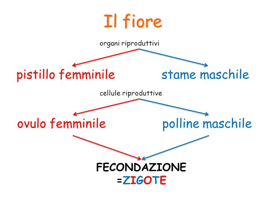 Il fiore pistillo femminilestame maschile organi riproduttivi cellule riproduttive ovulo femminilepolline maschile FECONDAZIONE =ZIGOTE