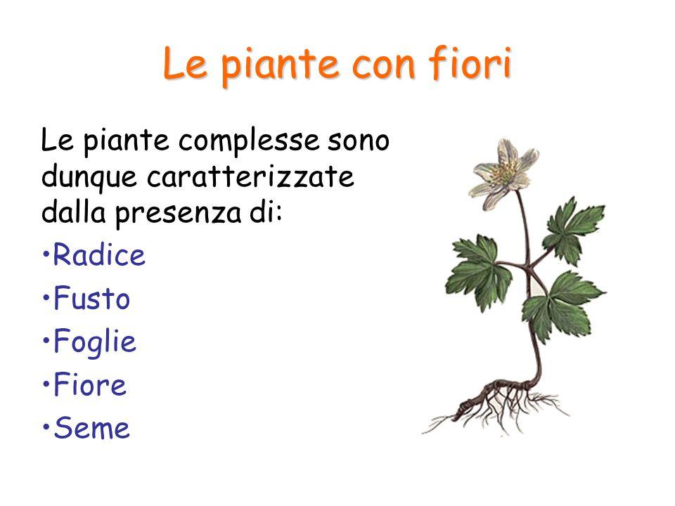 La radice La radice svolge tre importanti funzioni: Assorbe l'acqua e sali minerali dal terreno (osmosi) Ancora la pianta al suolo Accumula sostanze nutritive di riserva