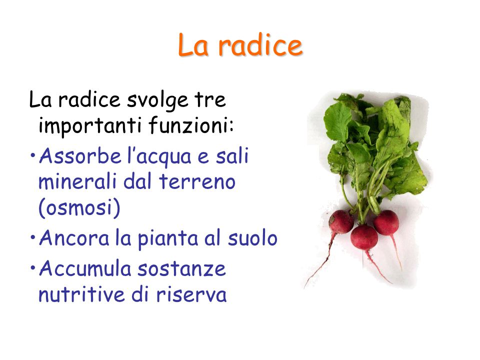 La radice La radice svolge tre importanti funzioni: Assorbe l'acqua e sali minerali dal terreno (osmosi) Ancora la pianta al suolo Accumula sostanze n