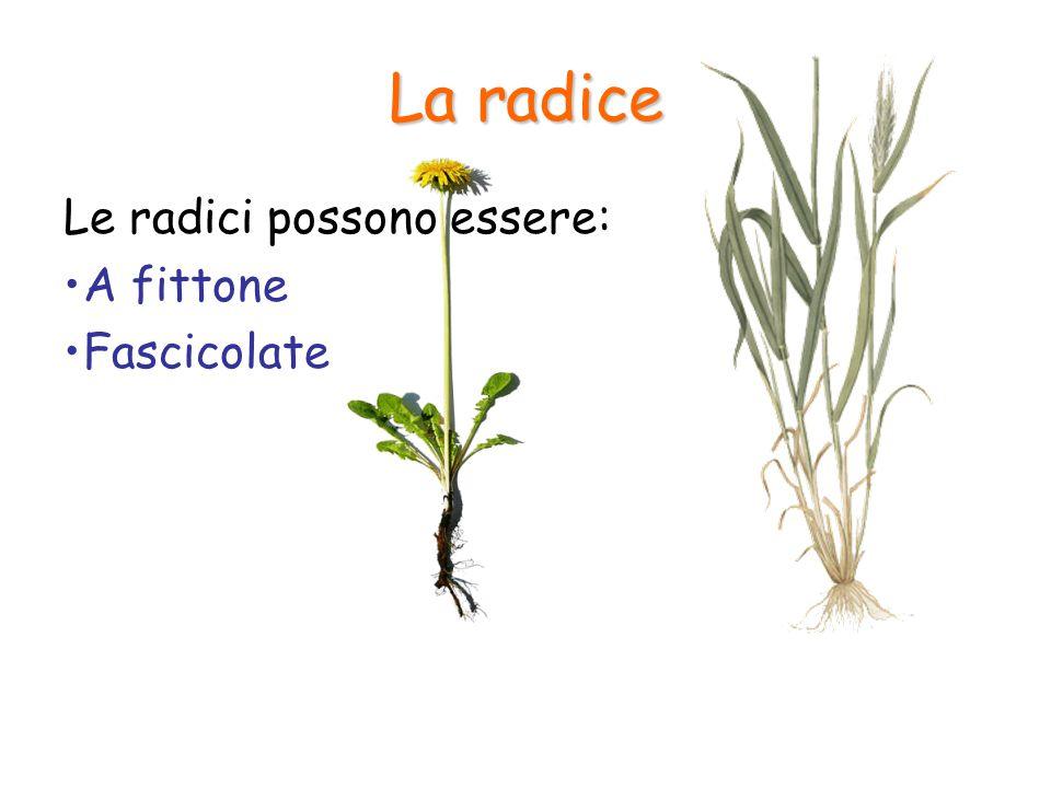 La radice La cuffia è la parte terminale della radice; esercita un'azione protettiva sulla radice durante la sua penetrazione nel suolo Attraverso i peli radicali avviene l'assorbimento dell'acqua e dei sali minerali La zona intermedia è responsabile della crescita della radice verso il basso