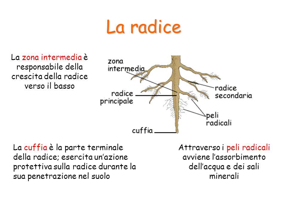 La radice La cuffia è la parte terminale della radice; esercita un'azione protettiva sulla radice durante la sua penetrazione nel suolo Attraverso i p