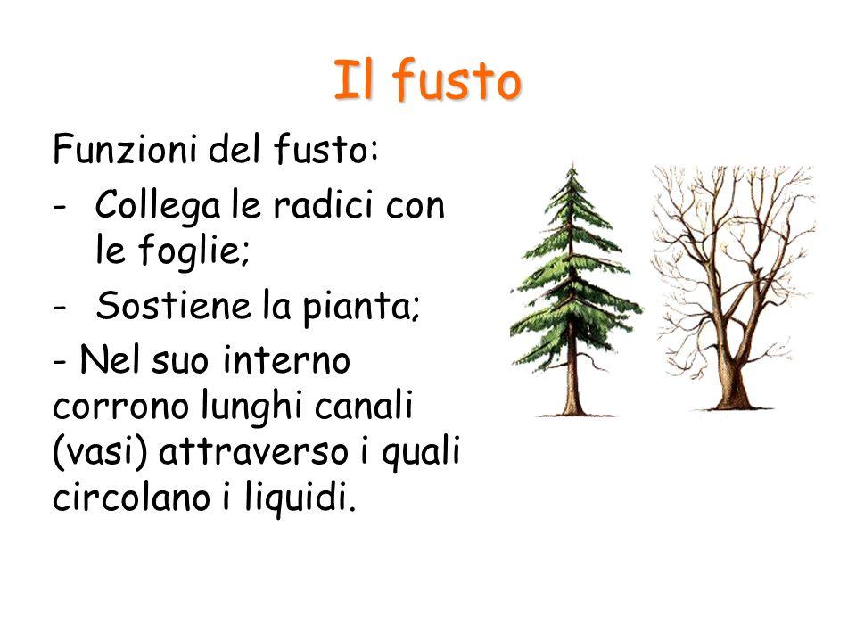 Il fusto Funzioni del fusto: -Collega le radici con le foglie; -Sostiene la pianta; - Nel suo interno corrono lunghi canali (vasi) attraverso i quali