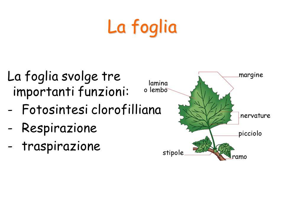 La foglia La foglia svolge tre importanti funzioni: -Fotosintesi clorofilliana -Respirazione -traspirazione