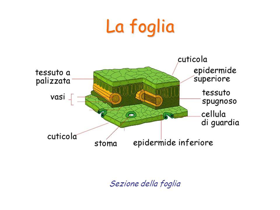 La foglia La fotosintesi 6CO 2 + 6H 2 O+luce = C 6 H 12 O 6 +6O 2