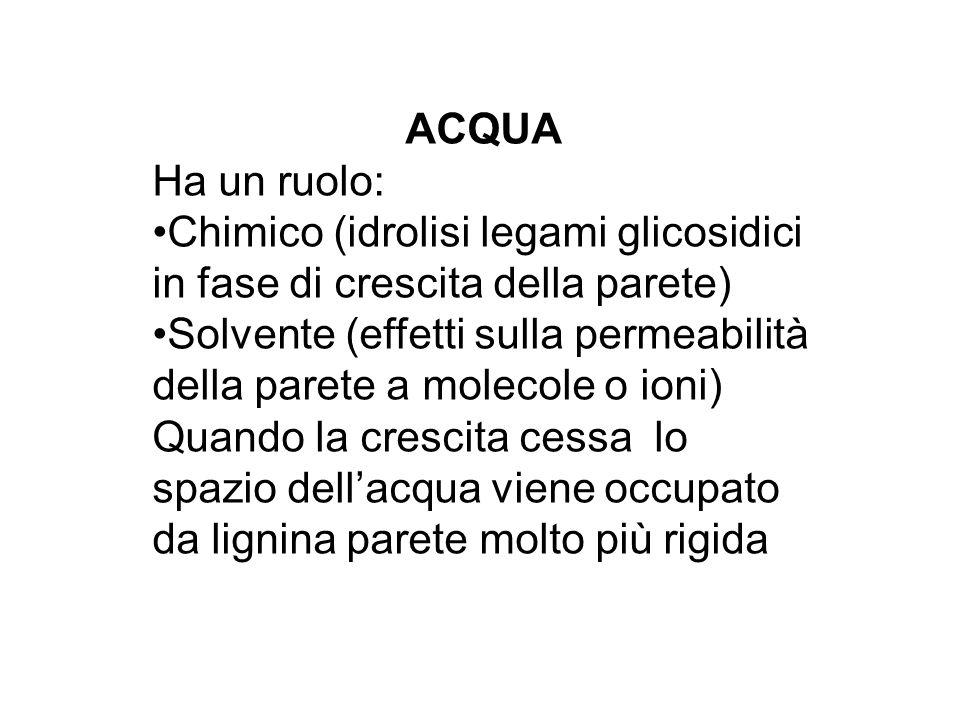 ACQUA Ha un ruolo: Chimico (idrolisi legami glicosidici in fase di crescita della parete) Solvente (effetti sulla permeabilità della parete a molecole