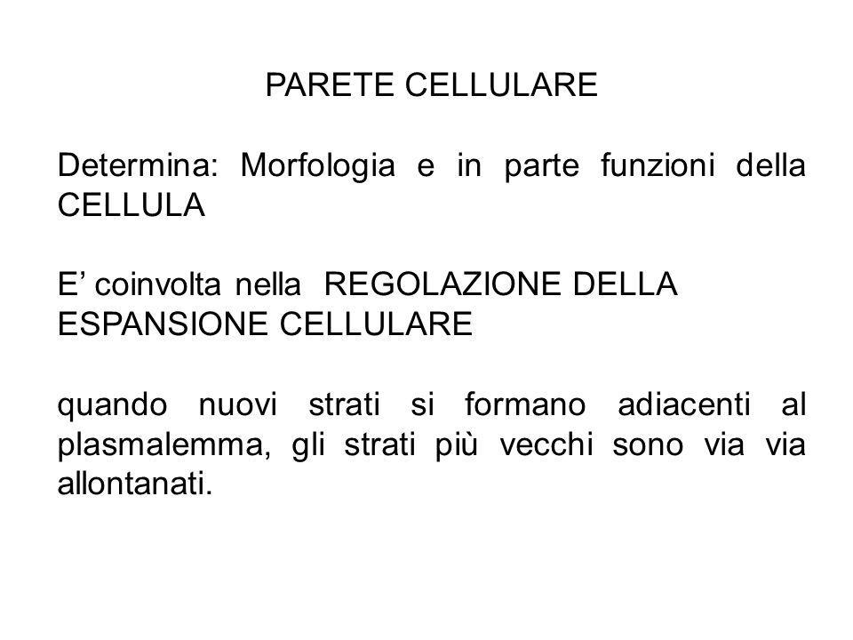 PARETE CELLULARE Determina: Morfologia e in parte funzioni della CELLULA E' coinvolta nella REGOLAZIONE DELLA ESPANSIONE CELLULARE quando nuovi strati