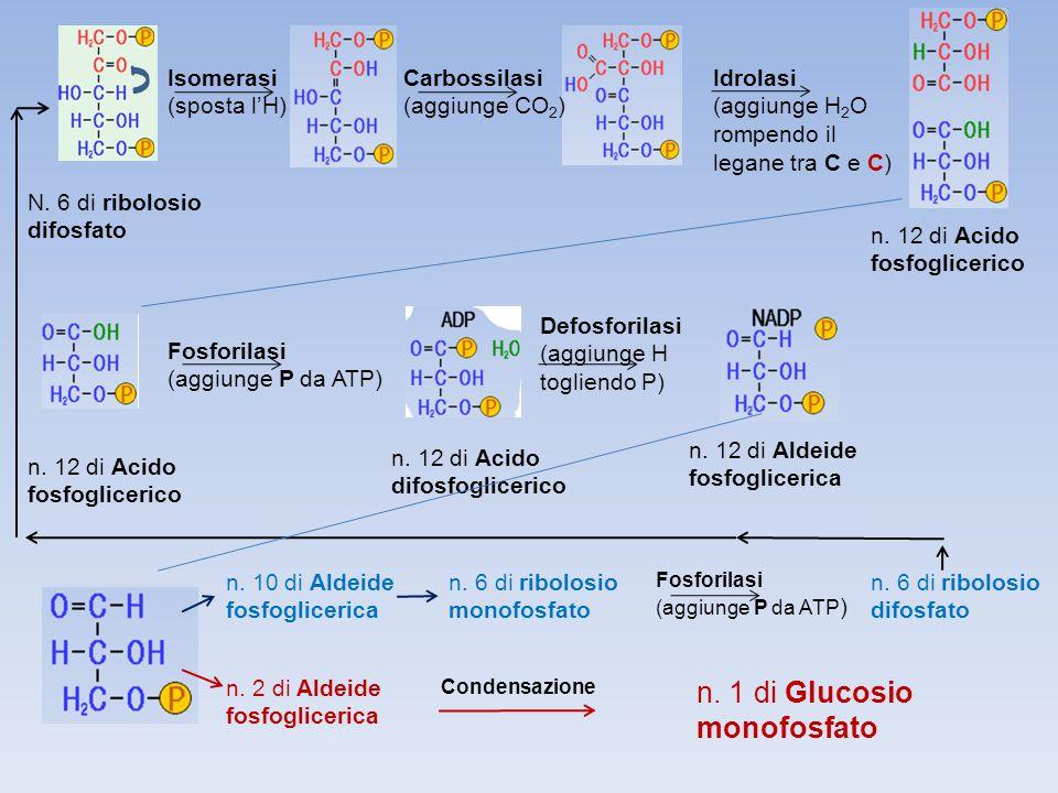 N. 6 di ribolosio difosfato Isomerasi (sposta l'H) Carbossilasi (aggiunge CO 2 ) n. 12 di Acido fosfoglicerico Idrolasi (aggiunge H 2 O rompendo il le