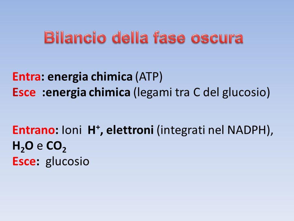Entra: energia chimica (ATP) Esce :energia chimica (legami tra C del glucosio) Entrano: Ioni H +, elettroni (integrati nel NADPH), H 2 O e CO 2 Esce: