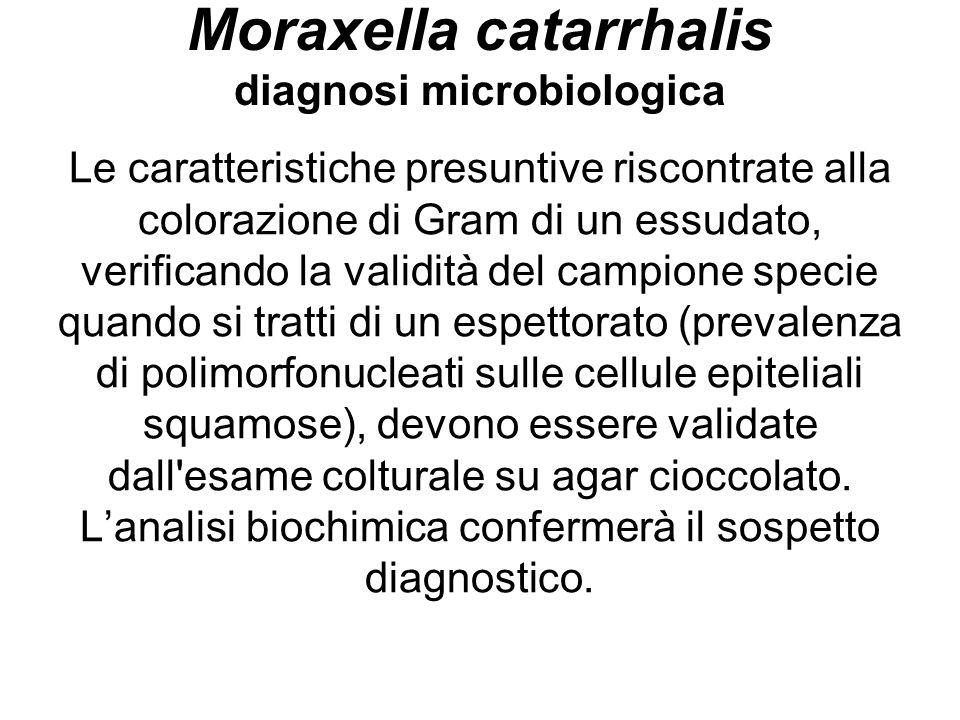 Moraxella catarrhalis diagnosi microbiologica Le caratteristiche presuntive riscontrate alla colorazione di Gram di un essudato, verificando la validi