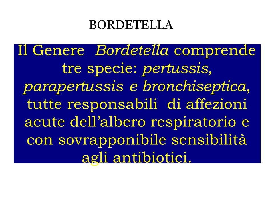 BORDETELLA Il Genere Bordetella comprende tre specie: pertussis, parapertussis e bronchiseptica, tutte responsabili di affezioni acute dell'albero res