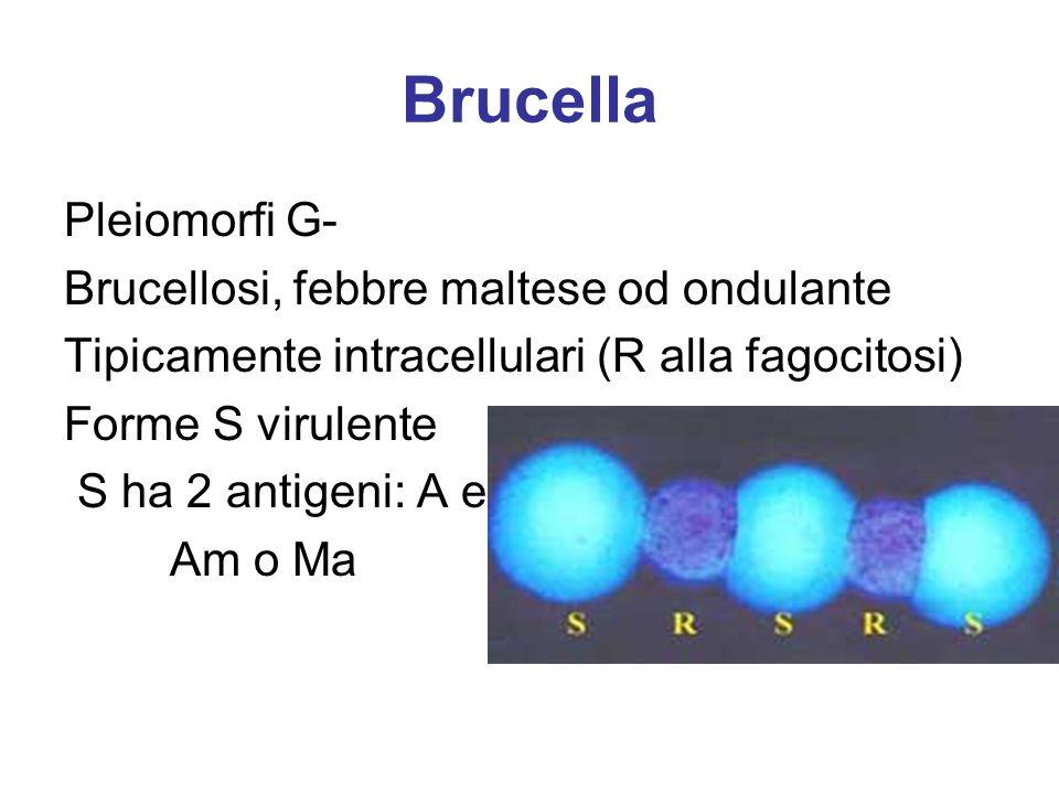 Brucella Pleiomorfi G- Brucellosi, febbre maltese od ondulante Tipicamente intracellulari (R alla fagocitosi) Forme S virulente S ha 2 antigeni: A e M