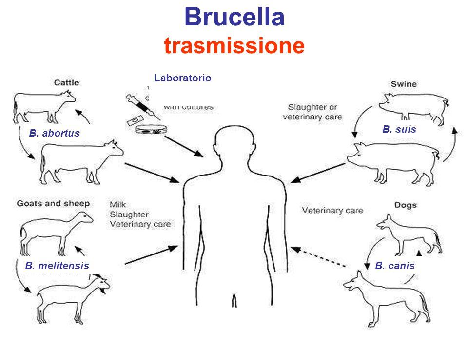Brucella trasmissione www.gsbs.utmb.edu B. abortus B. melitensisB. canis B. suis Laboratorio