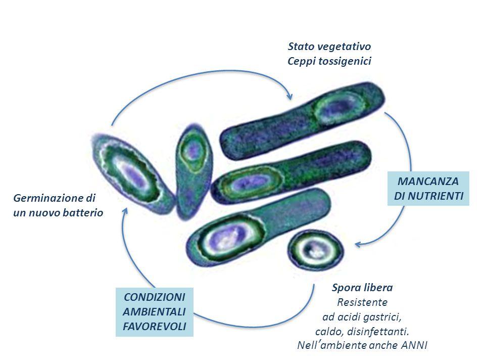 Spora libera Resistente ad acidi gastrici, caldo, disinfettanti. Nell'ambiente anche ANNI Germinazione di un nuovo batterio CONDIZIONI AMBIENTALI FAVO